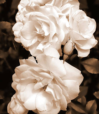 Roses In Sepia Monochrome Poster