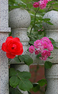 Roses On The Fence Poster by Qing