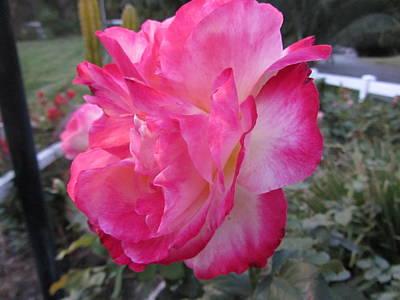 Rosey Rose Poster