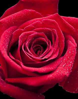 Rosy Red Poster by Deborah Klubertanz