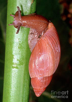 Rosy Wolfsnail Poster