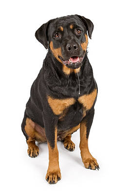 Rottweiler Dog With Drool Poster by Susan Schmitz