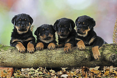 Rottweiler Puppies Poster by John Daniels