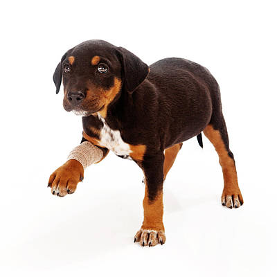 Rottweiler Puppy Injured Paw Poster by Susan Schmitz