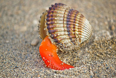 Rough Cockle Sea Shell Out Of Its Armor Poster