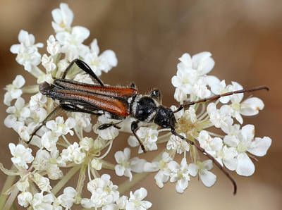 Round-necked-longhorn Beetle Poster by Nigel Downer