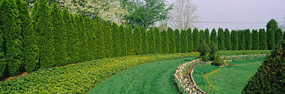 Row Of Arbor Vitae Trees In A Garden Poster by Panoramic Images
