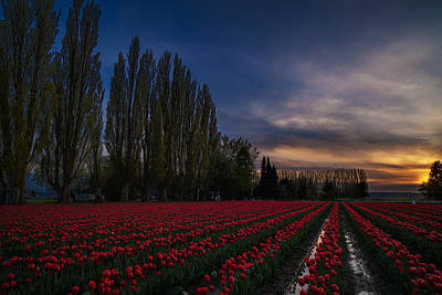 Rows Of Tulips And Tall Trees Poster by Mike Reid
