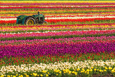 Rows Of Tulips Poster