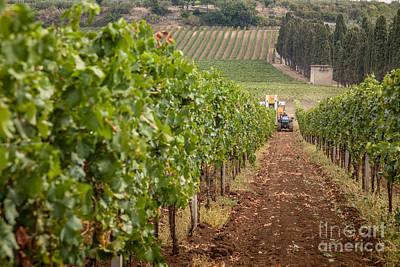 Rows On Vines With A Mechanical Harvester In The Distance Harves Poster