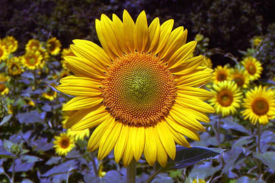 Poster featuring the photograph Roxanna Sunflower by Bill Swartwout