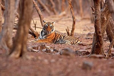 Royal Bengal Tiger, Ranthambhor Poster by Jagdeep Rajput