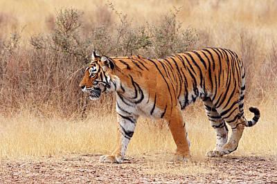Royal Bengal Tiger Walking Around Dry Poster