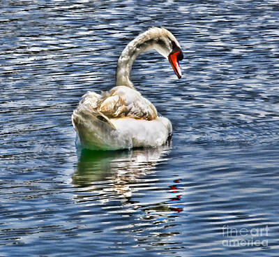 Royal Muted Swan Swimming On Lake Eola Poster by Diana Sainz