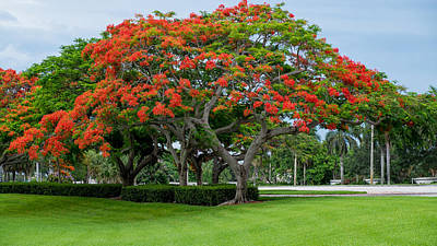 Royal Poinciana  Poster by Louis Ferreira