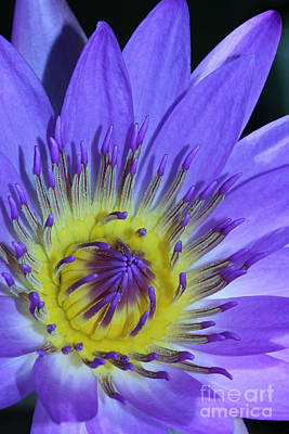 Royal Purple Water Lily #11 Poster