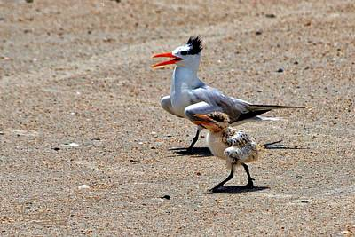 Royal Tern With Chick Poster
