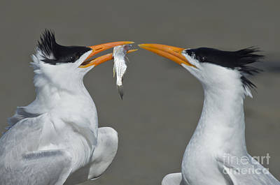 Royal Terns Poster by Anthony Mercieca