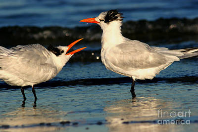 Poster featuring the photograph Royal Tern Courtship Dance by John F Tsumas
