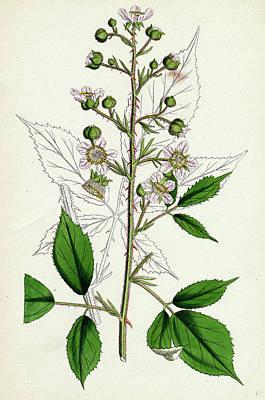Rubus Radula File-stemmed Bramble Poster