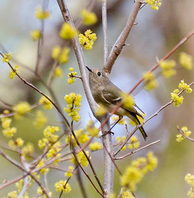 Poster featuring the photograph Ruby-crowned Kinglet by Kerri Farley