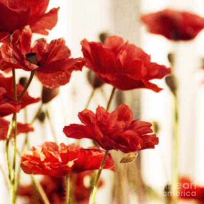 Ruby Red Poppy Flowers Poster