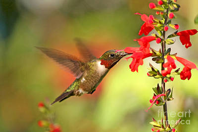 Ruby Throat Hummingbird Photo Poster