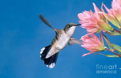 Ruby-throated Hummingbird Poster by Anthony Mercieca