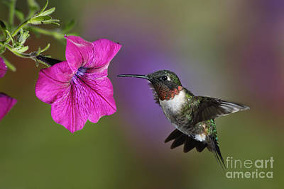 Ruby-throated Hummingbird - D004190 Poster by Daniel Dempster