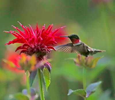 Ruby Throated Hummingbird With Beebalm Poster by Clare VanderVeen