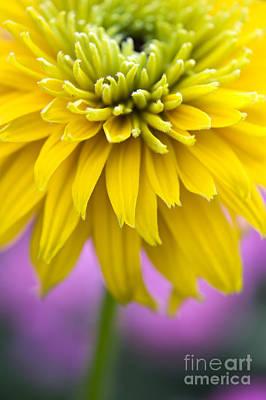 Rudbeckia Cherokee Sunset Flower Poster