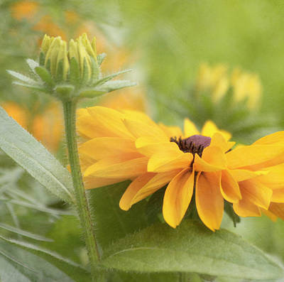 Rudbeckia Flower Poster