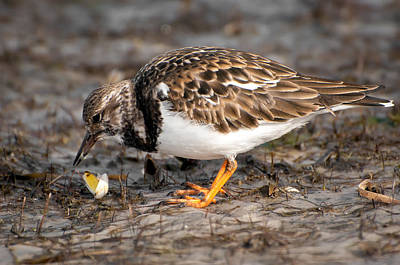 Ruddy Turnstone Poster by Rich Leighton