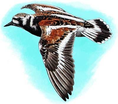 Ruddy Turnstone Poster by Roger Hall