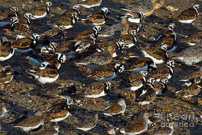Ruddy Turnstones Poster by Mark Newman