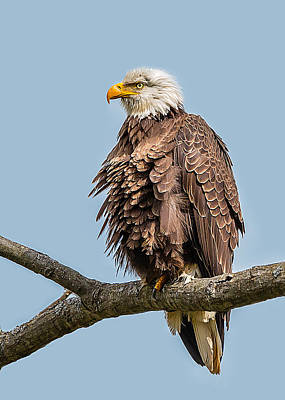 Ruffled Feathers Bald Eagle Poster
