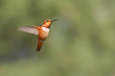 Rufous Hummingbird Poster by Fuad Azmat