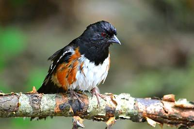 Rufous Sided Towhee Poster