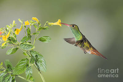 Poster featuring the photograph Rufous-tailed Hummingbird by Dan Suzio