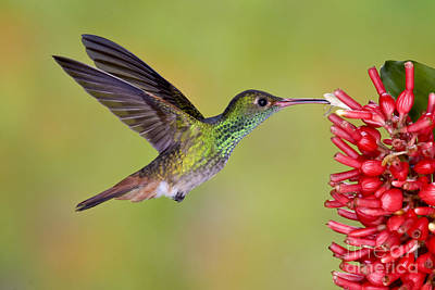 Rufous-tailed Hummingbird Poster by Anthony Mercieca