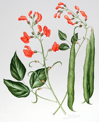 Runner Beans Poster by Sally Crosthwaite
