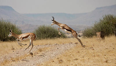 Running Springboks In Mid-jump Poster by Jaynes Gallery