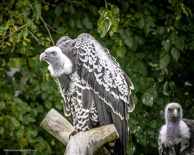 Ruppells Griffon Vulture  Roost  Poster