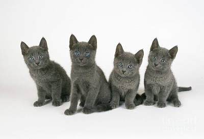Russian Blue Kittens Poster by John Daniels