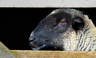 Rustic Ram Poster by Brian Stevens