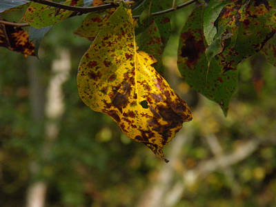 Poster featuring the photograph Rusty Leaf by Nick Kirby