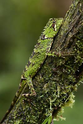 Sabah Eyebrow Lizard Mt Kinabalu Np Poster by Ch'ien Lee