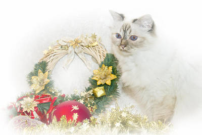 Sacred Cat Of Burma Christmas Time Poster by Melanie Viola