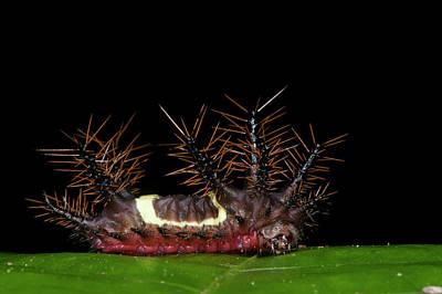 Saddleback Moth Caterpillar (acharia Poster by Pete Oxford