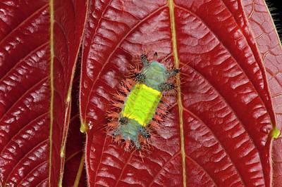 Saddleback Moth Caterpillar (limacodidae Poster by Pete Oxford